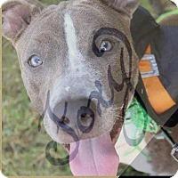 Adopt A Pet :: Foxy - New Orleans, LA