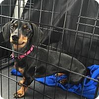 Adopt A Pet :: Izzy - Marcellus, MI