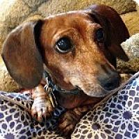 Adopt A Pet :: Sophie Snowfall - Houston, TX