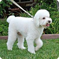 Adopt A Pet :: Rascal - Walnut Creek, CA