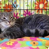 Domestic Shorthair Cat for adoption in San Jose, California - Eric