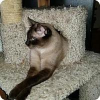 Adopt A Pet :: Frank Sinatra - Glendale, AZ