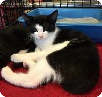 Domestic Shorthair Kitten for adoption in Smyrna, Georgia - Magnum