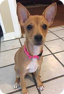 Miniature Pinscher/Chihuahua Mix Puppy for adoption in San Antonio, Texas - Bambi