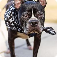 Boston Terrier Dog for adoption in Greensboro, North Carolina - Bishop