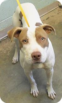 American Pit Bull Terrier Mix Dog for adoption in Decatur, Georgia - Bozzi