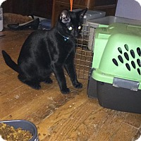 Domestic Mediumhair Cat for adoption in Enid, Oklahoma - Bruce