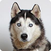 Adopt A Pet :: Denim - Walnut Creek, CA