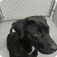 Adopt A Pet :: Beau - Buckeystown, MD