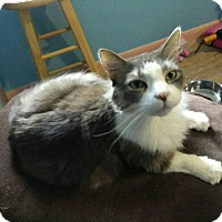 Adopt A Pet :: Lucky Strike (declawed) - Warren, MI