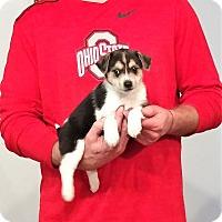 Adopt A Pet :: Champ - New Philadelphia, OH