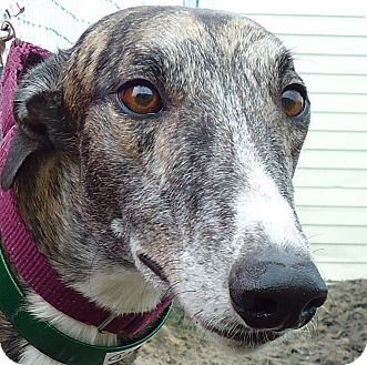 Greyhound Dog for adoption in Longwood, Florida - BG Gator Bait