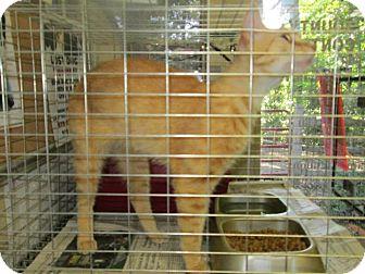Domestic Shorthair Cat for adoption in Chesapeake, Virginia - Codey