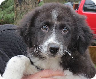 Border Collie Mix Puppy for adoption in Washington, D.C. - Cody
