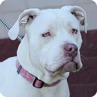 American Bulldog Mix Dog for adoption in Springfield, Illinois - Pearl