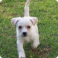 Adopt A Pet :: Bonnie - La Habra Heights, CA
