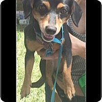 Adopt A Pet :: Scootie - Andalusia, PA
