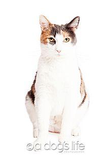 Calico Cat for adoption in Tempe, Arizona - Daiquiri
