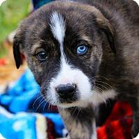 Adopt A Pet :: Ares $250 - Seneca, SC