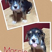 Adopt A Pet :: Marcia - Scottsdale, AZ