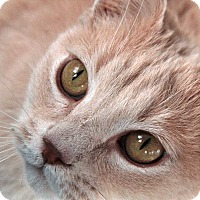 Domestic Shorthair Cat for adoption in St. Louis, Missouri - Leopold