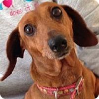 Adopt A Pet :: Daisy Devotion - Houston, TX