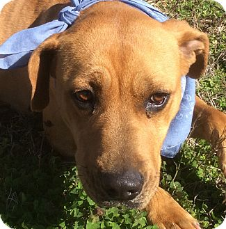 Labrador Retriever Mix Dog for adoption in Albany, New York - Betsy Lou