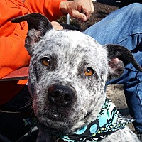 Adopt A Pet :: Roscoe (cattle dog mix) - Fairfax, VA