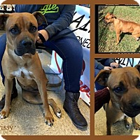 Adopt A Pet :: Chrissy - hollywood, FL