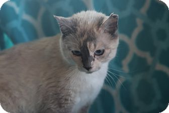 Siamese Cat for adoption in Spring Valley, New York - Tsunami Reduced