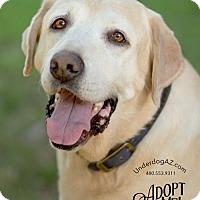 Labrador Retriever Dog for adoption in Chandler, Arizona - JAKE