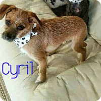 Adopt A Pet :: Cyril - House Springs, MO