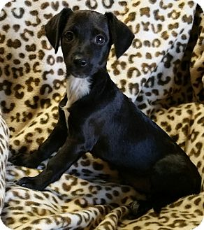 Chihuahua/Dachshund Mix Puppy for adoption in Los Angeles, California - Electra