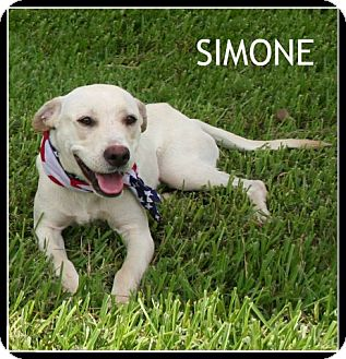 Labrador Retriever Mix Dog for adoption in Houston, Texas - Simone