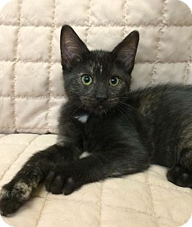 Domestic Shorthair Cat for adoption in Bonner Springs, Kansas - Jan
