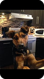 German Shepherd Dog/Rottweiler Mix Dog for adoption in Saskatoon, Saskatchewan - Maeve