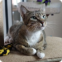 Domestic Shorthair Cat for adoption in Columbia, Illinois - Nefertiti