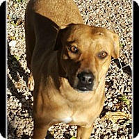 Labrador Retriever Mix Dog for adoption in Tombstone, Arizona - Daisy