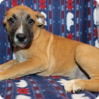 Boxer Mix Puppy for adoption in Hillsdale, Indiana - Roasted Marshmellow