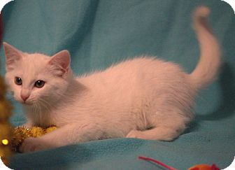 Domestic Shorthair Kitten for adoption in Hagerstown, Maryland - Chrystal