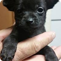 Adopt A Pet :: Devoran - Alexandria, VA