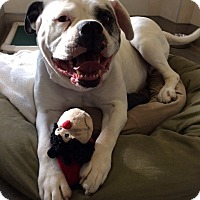 American Bulldog Dog for adoption in Berkeley, California - Stella *Adoption Fee Waived*
