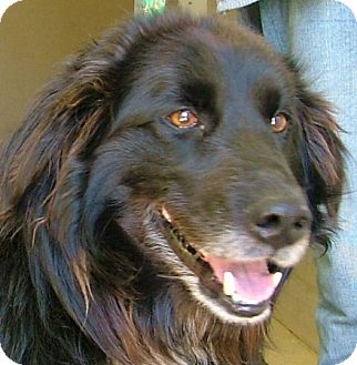 Flat-Coated Retriever/Golden Retriever Mix Dog for adoption in Toledo, Ohio - SAMMY