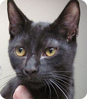 Bombay Cat for adoption in Winchester, California - Midnite