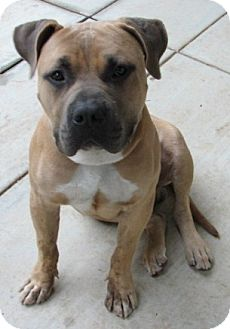 Pitbull Mixed With Bullmastiff