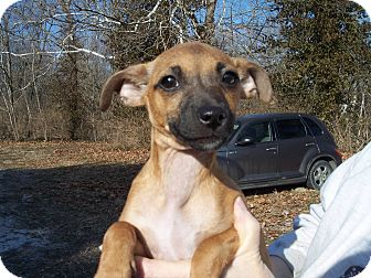Chihuahua/Rat Terrier Mix Puppy for adoption in Germantown, Maryland - Tweetie