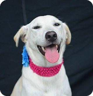 Labrador Retriever Mix Dog for adoption in Plano, Texas - Dixie