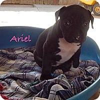Adopt A Pet :: Ariel - Cypress, CA