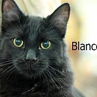 Domestic Mediumhair Cat for adoption in Wichita Falls, Texas - Blanco
