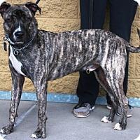 Adopt A Pet :: Baja - Gilbert, AZ